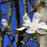 """Magnolia White 4M Magnolias Tree Flowers art print"" by BasleeTroutman"