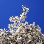 """White Magnolias Flowers Tree Spring Blue Sky"" by BasleeTroutman"