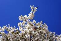 White Magnolias Flowers Tree Spring Blue Sky