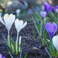 """Crocus Flowers Spring Gardens Floral art prints"" by BasleeTroutman"