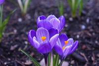 Crocus Flowers Purple Orange Spring Garden