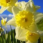 """Daffodil Flowers Spring Garden Blue Sky Art"" by BasleeTroutman"