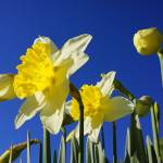 """Daffodils Floral Garden Art Prints Blue Sky"" by BasleeTroutman"