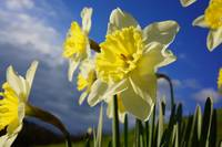 Daffodils Flower Garden Blue Sky Clouds