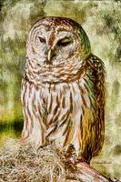 Barred Owl on Moss