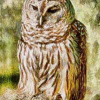 Barred Owl on Moss Art Prints & Posters by Deborah Benoit