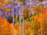 Fall Aspens, Cimarron Road, Colorado