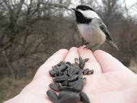 Black Capped Chickadee in hand