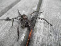 Big Scary Wolf Spider Up Close