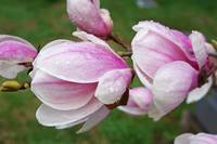 Raindrops wet Flowers Pink White Magnolia Flowers