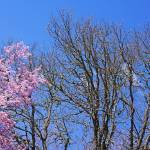 """Pink Spring Blossoms Oak Trees Blue Sky art"" by BasleeTroutman"