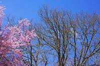 Pink Spring Blossoms Oak Trees Blue Sky art