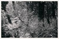 046_02520_pine_needles_new_mexico