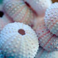 Sea Urchin Shells Art Prints & Posters by Bonnie Bruno