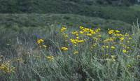 Yellow Flowers in a Coastal Meadow_2877