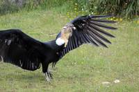 Andean Condor on Grass