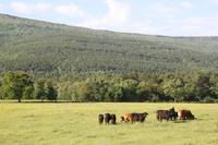 Mount Magazine and cows