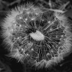 """Seed Head March 2014"" by bavosiphotoart"