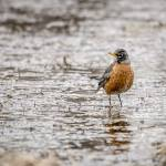 """American Robin"" by WildAboutNaturePhotography"