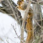 """Fox Squirrel"" by WildAboutNaturePhotography"