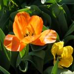 """Orange Tulip Flower Prints Spring Garden"" by BasleeTroutman"