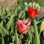 """Pink Tulip Flowers Prints Pink Red Tulips"" by BasleeTroutman"