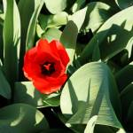 """Red Tulip Flower Green Garden Spring Prints"" by BasleeTroutman"