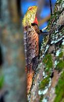 Maldivian Lizard, Another Colour