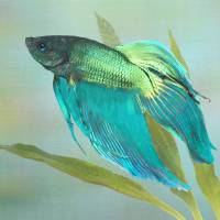 Siamese Fighting Fish by I.M. Spadecaller