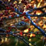"""Pine Grosbeak"" by LJdesigns"