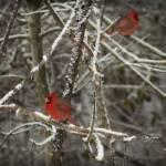 """Gentle Red Powder"" by AngelWingsArt"