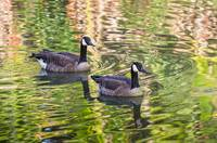 Canadian Geese of Autumn