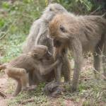 """baboonfamily1"" by SederquistPhotography"