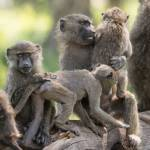"""baboongrouping2"" by SederquistPhotography"