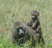 Baboon Mama and Baby