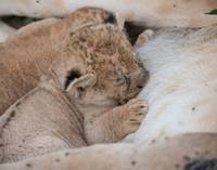 Baby Lion Nursing