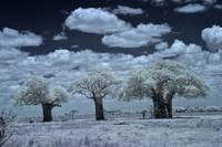 Three Baobag Trees, Infrared