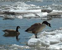 Geese and Cold Feet