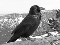 The Raven - Black and White