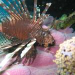 """Lionfish on Pink"" by Mac"