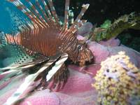 Lionfish on Pink