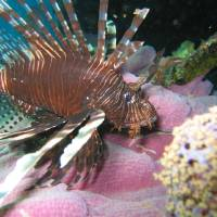 Lionfish on Pink Art Prints & Posters by Jim