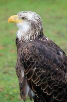 Side View of Female American Bald Eagle