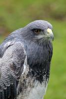 Mature Black Chested Buzzard Eagle