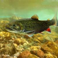 Brook Trout by I.M. Spadecaller