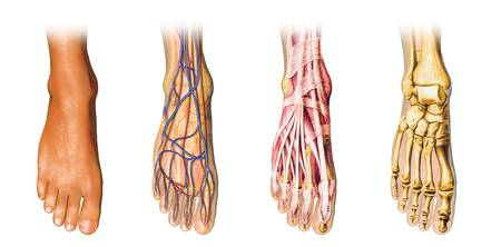 Human foot anatomy showing skin, veins, arteries,