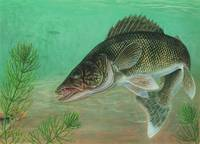 Illustration of a walleye swimming