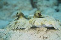 The face of a Peacock Flounder camouflaged on the