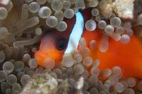 Cinnamon Clownfish in its host anemone