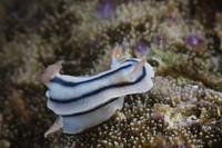Close-up view of a nudibranch feeding on the reef,